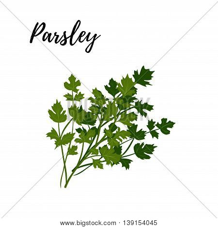 Isolated branches of herbs fresh parsley aroma herbs vector object on white background. Kitchen seasoning spices.Vektor illustration.