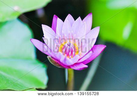 florescent purple lotus in the pond , lotus