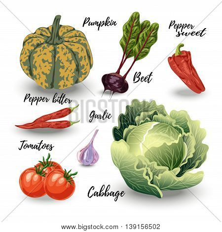 Set of isolated vegetables cabbage and squash beets and tomatoes onion and garlic on white. Vector illustration