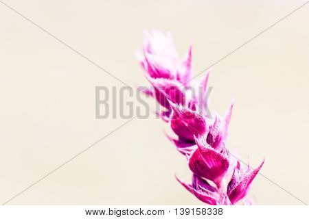 Bright pink salvia flower, copyspace. Meadow sage blossom on beige background, close-up