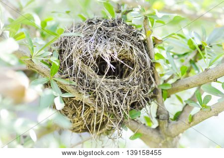bird nest on terminalia ivoriensis tree , bird's nest