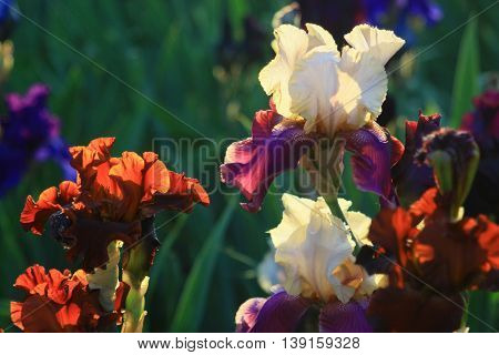 Iris garden. Delicate aroma is intoxicating and inspiring. It is feeling everywhere in the garden.The sun gently illuminates the petals at sunset.