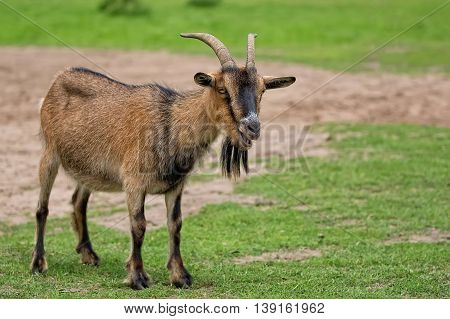 Goat in a clearing in the wild