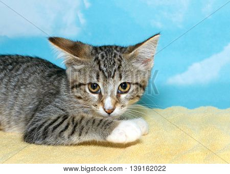 gray and white tabby kitten cringing away from viewer scared. Laying on a yellow blanket blue background with white clouds. Copy space