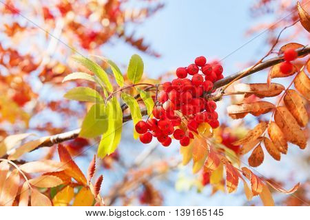 Autumn Rowan Tree With Red Berries And Colorful Leaves.