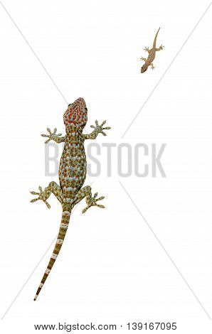 A gecko on white background and It is reptiles