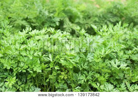 Parsley in a vegetable garden- stock photo
