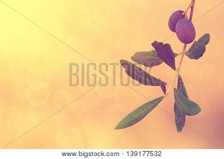 Branch of olive tree with fruits and leaves, natural agricultural sunny vintage food background