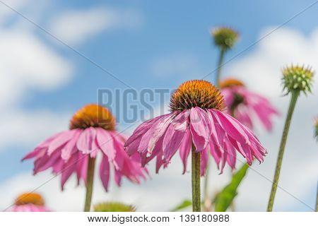 Medicinal plant Echinacea purpurea closeup outdoors against a blue sky