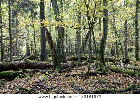 Broken trees almost decomposed in deciduous stand, Bialowieza Forest, Poland, Europe