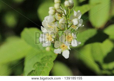 Blossoms Of The Bird Cherry (prunus Padus)
