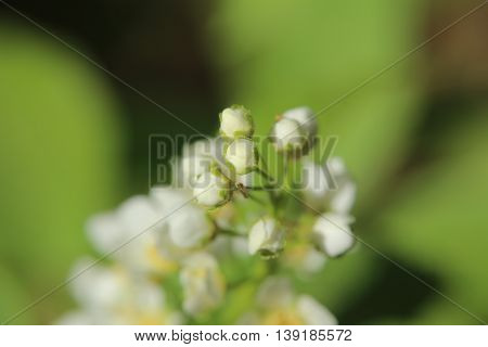 Buds Of The Bird Cherry (prunus Padus)