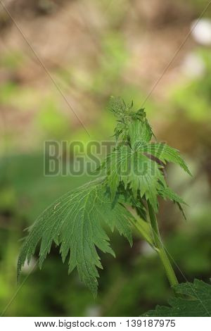 Young Inflorescence Of The Northern Wolfsbane (aconitum Lycoctonum)