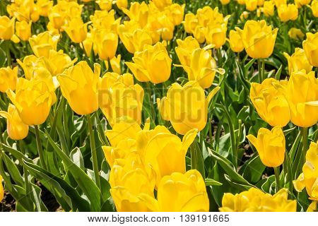 Tulip field. Field with yellow tulips. Group of yellow tulips in the park. Spring landscape.