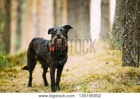 Happy Small Size Black Hunting Dog in Summer Forest.