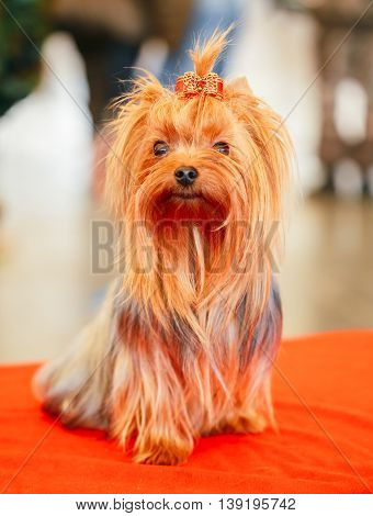 Close Up Cute Yorkshire Terrier Dog Playing In Show