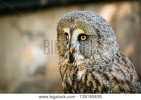 The Great Grey Owl Or Great Gray Owl - Strix Nebulosa Is Very Large Owl. Wild Bird. Close Up Head, Face.