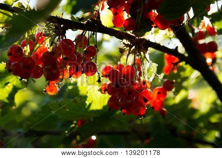 Bunches of redcurrants at sunset in the garden