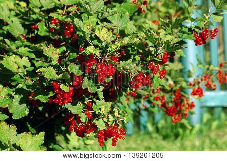 Bunches of redcurrants on bush in the garden