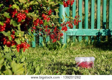 Bunches of redcurrants on bush and in transparent bucket
