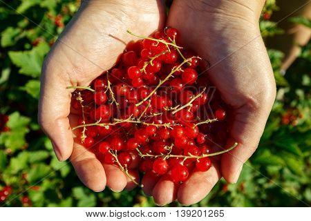 Redcurrants in women's hands in the garden