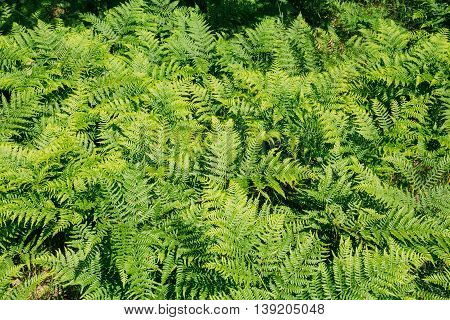 Beautiful Ferns Leaves Green Foliage Natural Floral Fern Background In Forest.