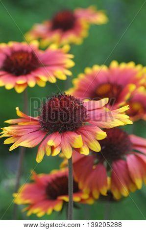 Gaillardia aristata flowers in the summer garden