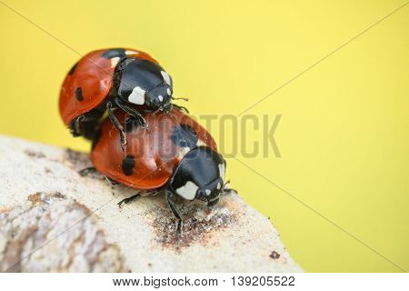 Ladybugs mating on branch on yellow background