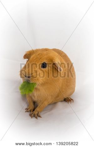 Small Orange Color Guinea Pig Chewing The Leaf