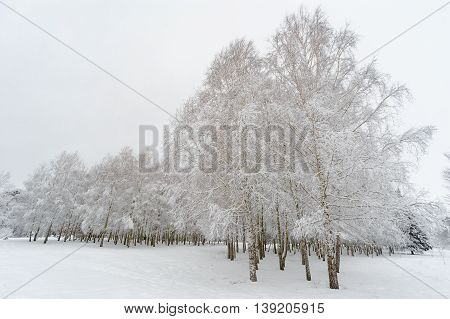 Birch trees under snow. Winter frosty landscape.