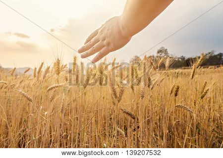 Hand touching top of wheat in field