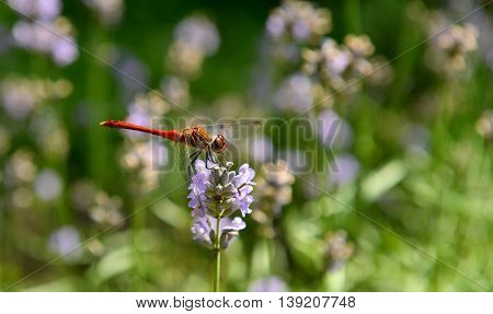 Fun Dragonfly sitting on a flower and collects nectar
