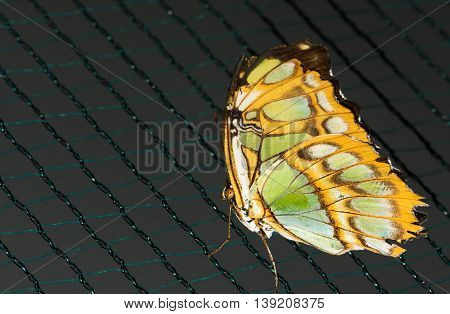 Close up photo of big brown butterfly with green dots on yellow wings stand on a grid.