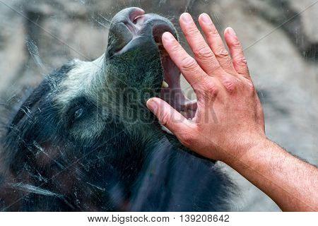 Hand On Window With Sloth Black Asian Bear