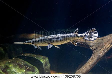 Alligator Gar Fish Underwater Close Up Macro
