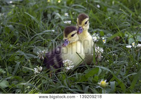 Two little duckling sitting in the tall green grass on the farm