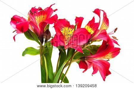 Alstroemeria Flowers On A White