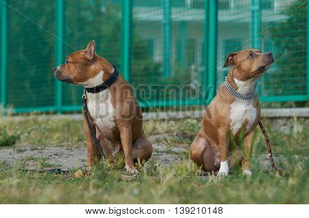 Two american staffordshire terrier dogs sitting on the grass