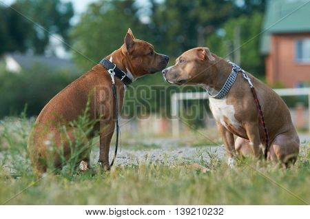 two beautiful american staffordshire dogs play together