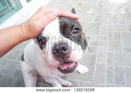 Someone's petting a dog , French bulldog