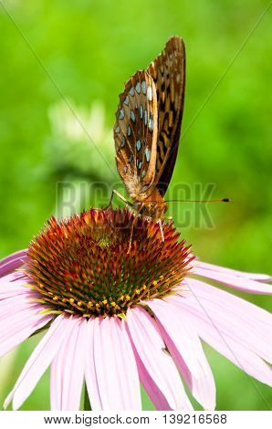 A great spangled fritillary pollinating a pruple coneflower.