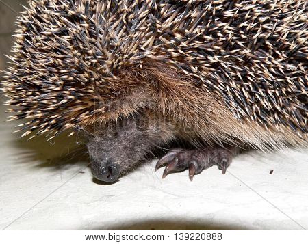adult hedgehog standing on the floor in an isolated environment