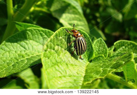 Closeup of Colorado potato beetle on the potato leaf