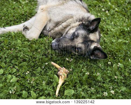 Half sleeping shepherd dog guarding a bone while lying down on the grass outdoor selective focus shot