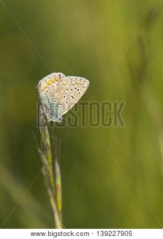 macro of speckled butterfly on grass at sunset
