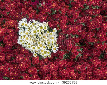 Beautiful flowers of chrysanthemums, red and white color