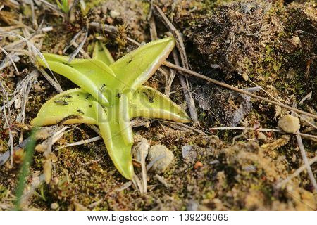 Pinguicula Vulgaris, The Common Butterwort, On The Ground