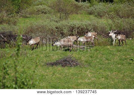 Herd Of Reindeers On A Meadow In Sweden