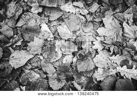 Autumnal Leaves On Ground, Black And White