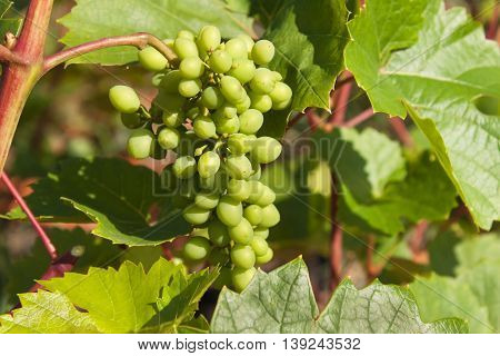 Growing grapes in the vineyard. Growing wine for sale. Young grapes on the vine.